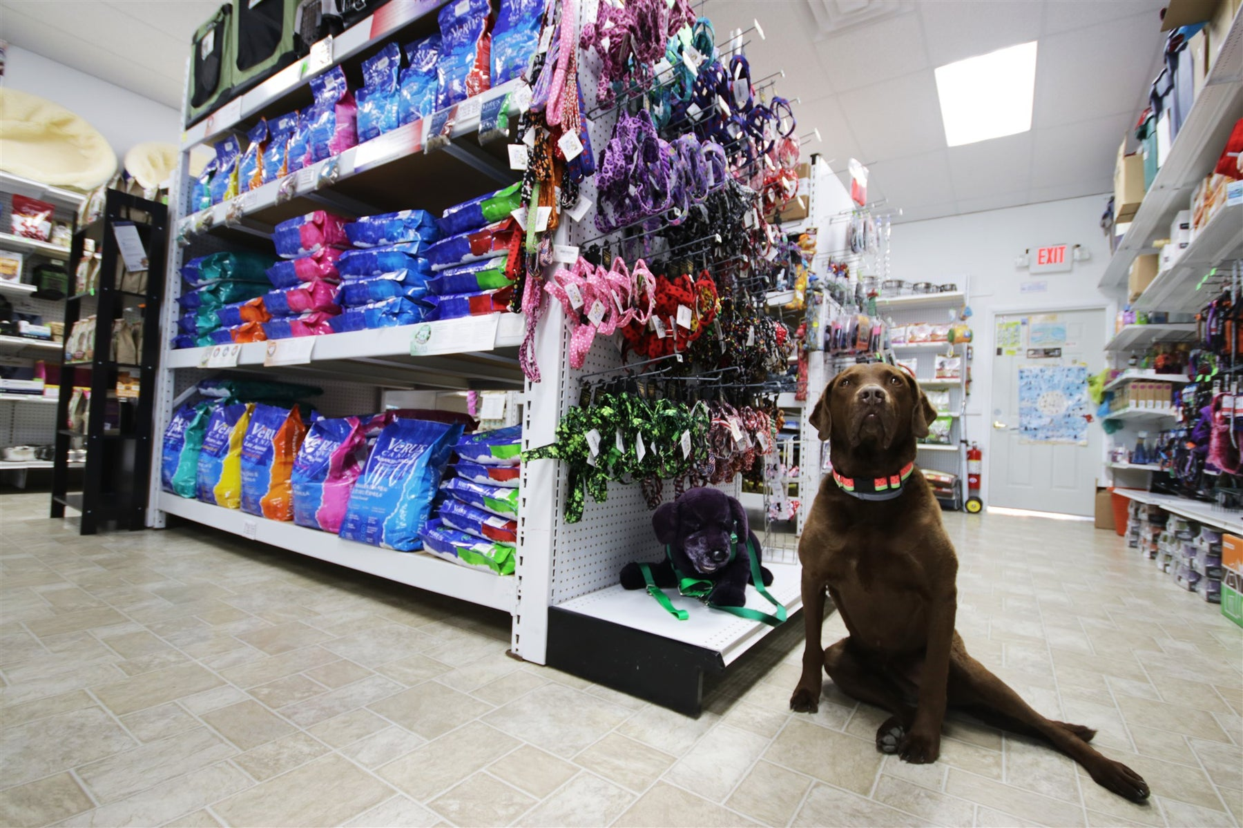 Chocolate lab sitting next to a store shelf with food
