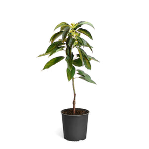 Brighter Blooms Cold Hardy Avocado Tree: Mexicola Grande 2-3 ft