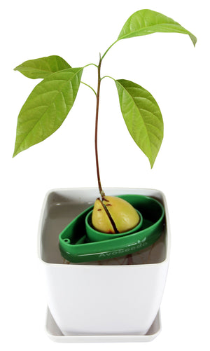 AvoSeedo DIY White/Green Avocado Tree Growing Kit