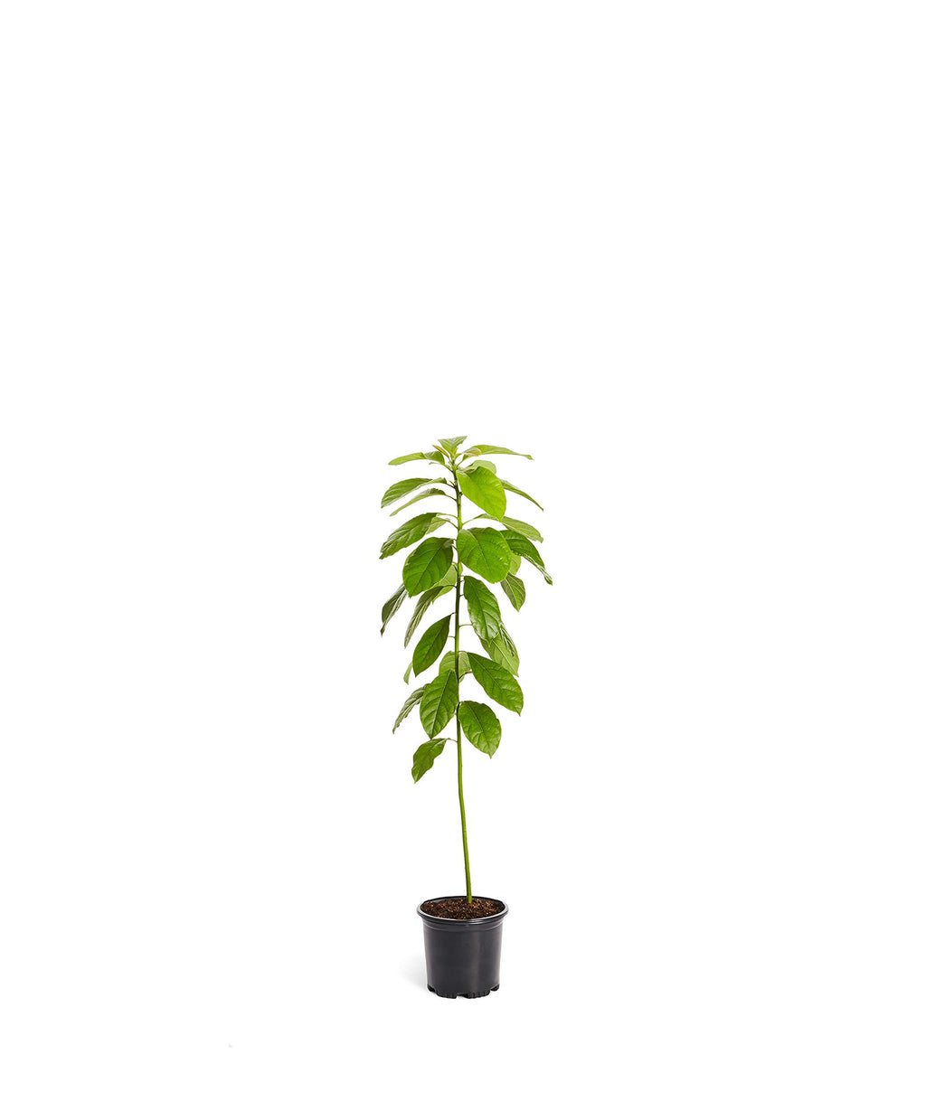 Brighter Blooms Hass Avocado Tree: Indoor/Outdoor 1-2 ft