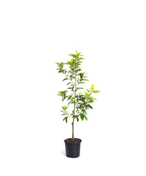 Brighter Blooms Cold Hardy Avocado Tree: Mexicola Grande 3-4 ft