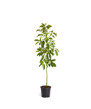 Brighter Blooms Hass Avocado Tree: Indoor/Outdoor 3-4 ft