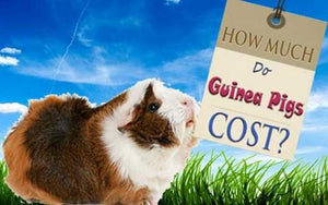 Guinea Pigs Cost More Than You Might Think