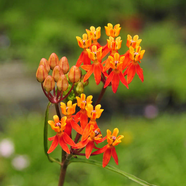 Asclepias lanceolata showing its red and orange flowers