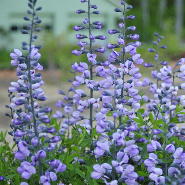 The dusky purple flowers of Purple Smoke False Indigo are held high above the foliage