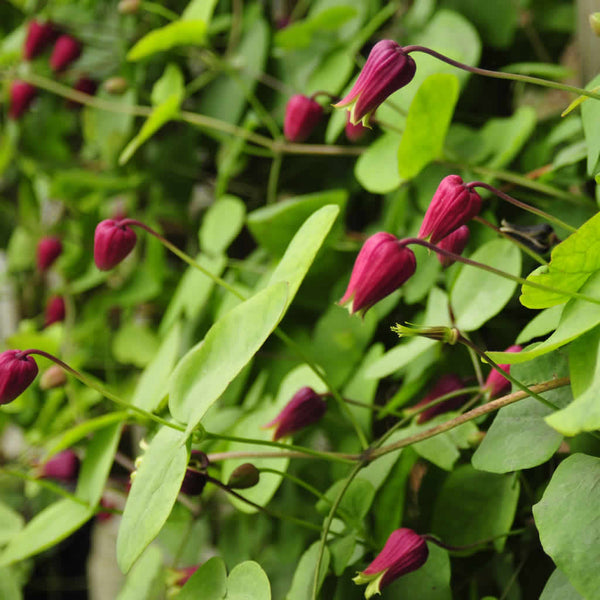 The hot pink flowers of Clematis glaucophylla during the month of May