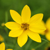 Yellow and daisy-shaped flowers of Zagreb Coreopsis