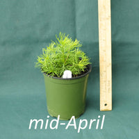 Zagreb Coreopsis in a 4 x 5 in. (32 fl. oz.) nursery container in mid-April