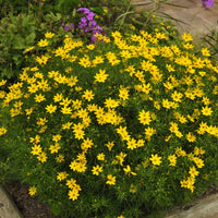 Zagreb Coreopsis flowering at the edge of a path in early summer