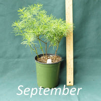 Zagreb Coreopsis in a 4 x 5 in. (32 fl. oz.) nursery container during the month of September
