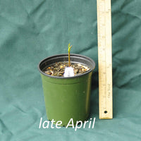 Fewflowered Milkweed in a 4 x 5 in. (32 fl. oz.) nursery container as it starts emerging in late April