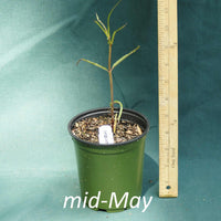 Asclepias lanceolata in a 4 x 5 in. (32 fl. oz.) nursery container in mid-May