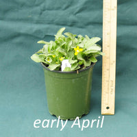 Green and Gold in a 4 x 5 in. (32 fl. oz.) nursery container in early April