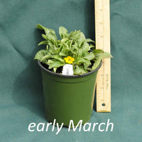 Green and Gold in a 4 x 5 in. (32 fl. oz.) nursery container in early March