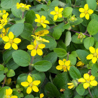 Close up of the yellow flowers on a Green and Gold plant