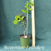 Lonicera Major Wheeler in a 4x5 in. (32 fl. oz.) nursery container between November and February