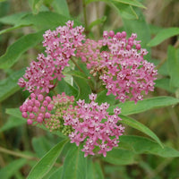 Close up of the pink-purple flowers of swamp milkweed