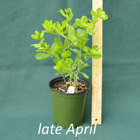 White False Indigo in a 4 x 5 in. (32 fl. oz.) nursery container in late April