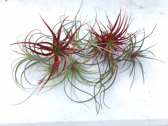 Wholesale Air plants - Bulk Air plants - Air Plants For Sale - Air Plants Online - Live Air Plants - Medium Sized - Air plant gifts
