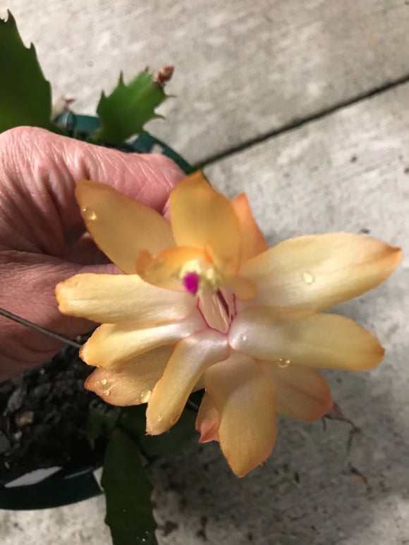 Light Yellow with Pink Center Christmas Cactus Zygocactus x
