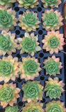 Gold Nugget Hens & Chicks - Sempervivum, Chick Charms, Gold Nugget Chick Charm, Rare Succulent