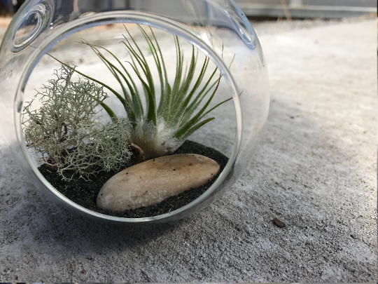 DIY Iontha Air plant Terrarium Kit