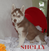 Shelly Female AKC Siberian Husky $695