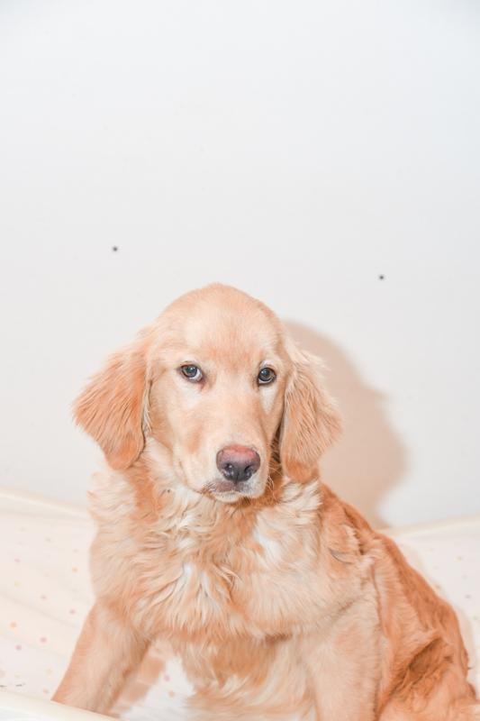 Ma Twilight Female Golden Retriever $5000