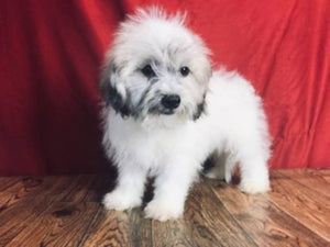 Shih-chon Puppies for sale near me ohio pa