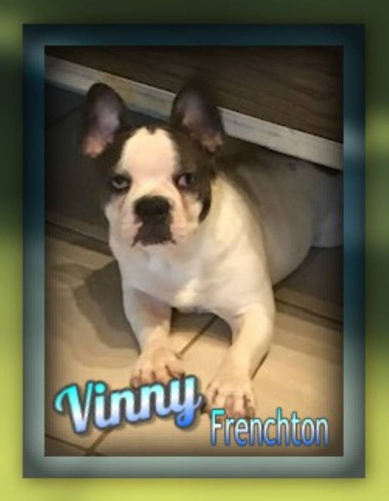 Frenchton Puppy for Sale