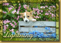 Lightning Male ACA Pembroke Welsh Corgi $1500