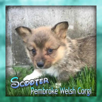 Scooter Male ACA Pembroke Welsh Corgi $700