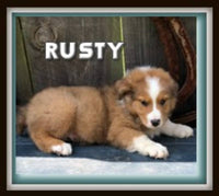 Rusty ICA Male Australian Shepherd $900
