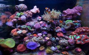 Our coral aquarium has grown tremendously after we installed our SCWD (Switching Current Water Director) Wave Maker