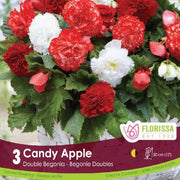 Begonia Candy Apple White and Red Spring Bulbs