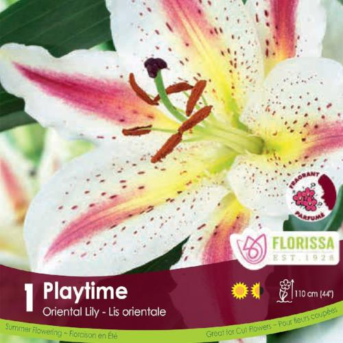 Lily Oriental Playtime Pink, White, and Yellow Spring Bulb