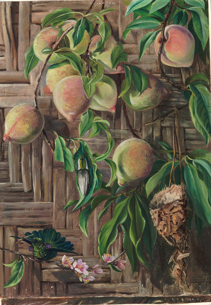 Detail of 89. Peaches and humming birds, Brazil, 1880 by Marianne North