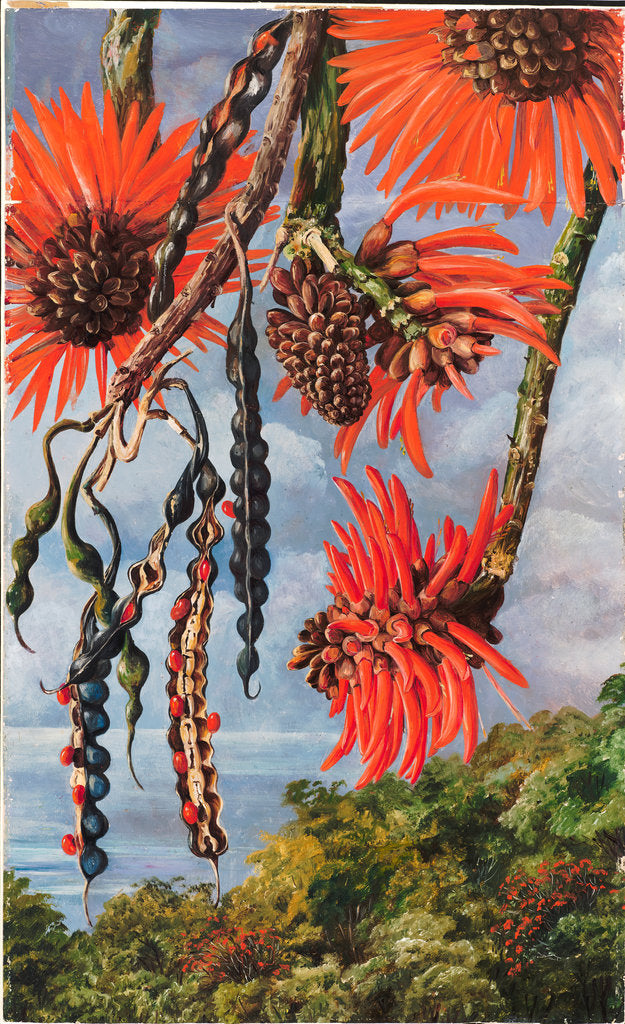 Detail of 100. Flowers of another kind of coral tree, 1880 by Marianne North