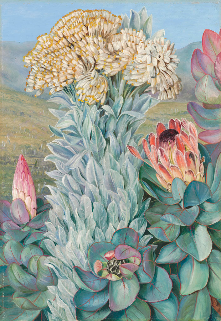 Detail of 437. Giant Everlasting and Protea, on the Hills near Port Elizabeth. by Marianne North