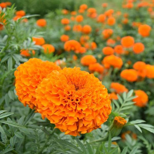 Flower Seeds - Copy Of Marigold African Giant Elegant Yellow Summer Flower Seeds