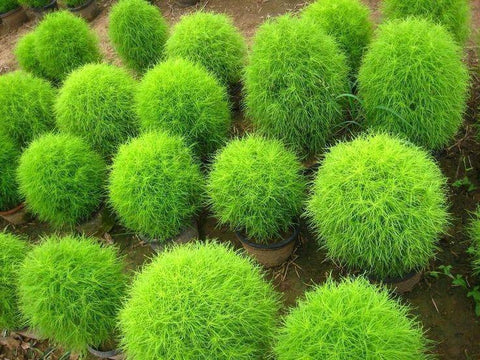 Flower Seeds - Kochia Plantsman's Seeds