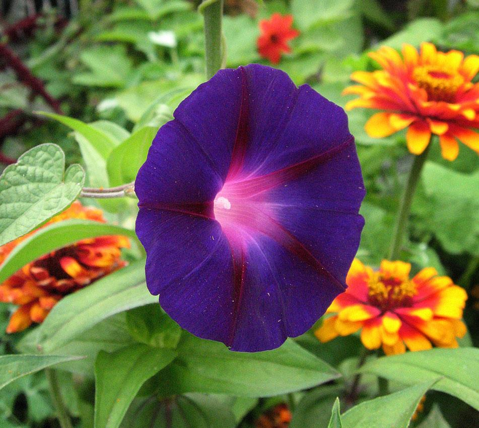 Flower Seeds - Morning Glory Exclusive Blue And Whote Flower Seeds - Multicolour Flower Seeds