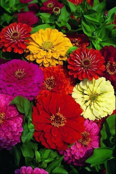 Flower Seeds - Zinnia  Dahlia Flowered Seeds