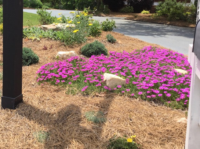 hardy ice plant, succulents, purple ice plant, ground cover for hot sunny areas, deer-resistant ground cover, deer resistant perennial,