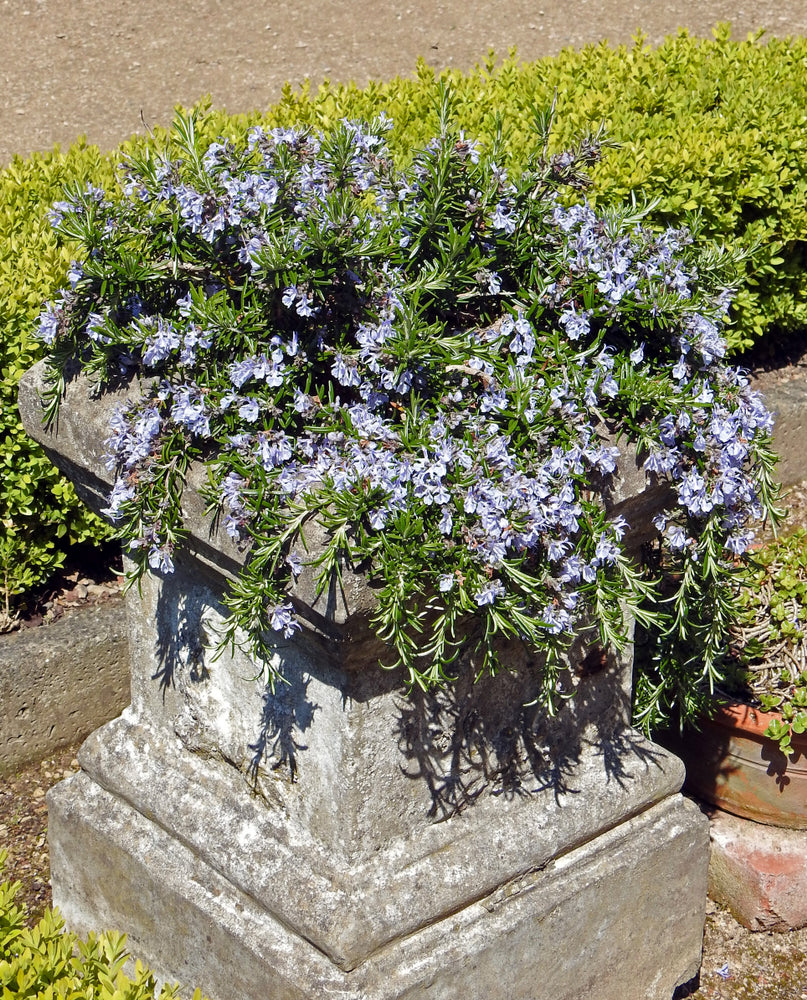 trailing rosemary perennial herb, great for pots