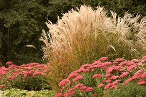 Maiden Grass 'Adagio'