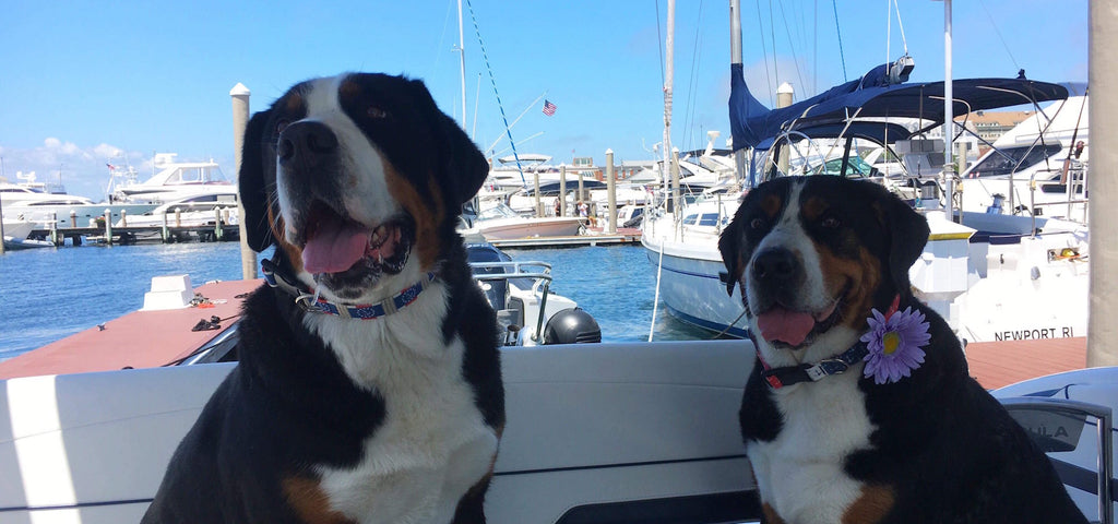 Red White & Blue Nautical Dog Collar with anchors on Swiss Mountain Dogs on a boat in Newport RI.