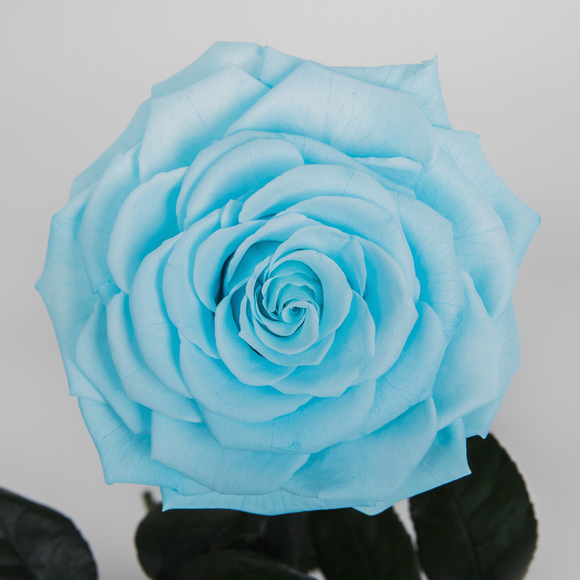 """Hello Gorgeous"" Tiffany Blue Enchanted Rose"