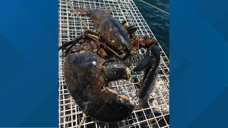 Giant Lobster Caught Off the East Coast of USA | Little Miss Meteo
