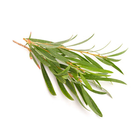 Tea Tree, Organic Essential Oil